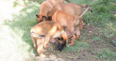 dogs in ghana